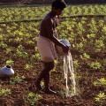 Watering Cassava Field